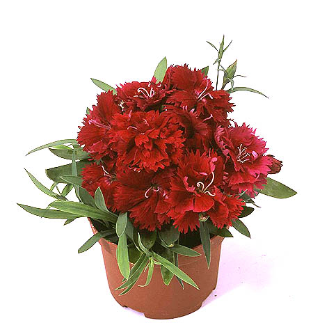 http://www.moghaan.com/images/more_product_images/image/890960Dianthus%20double%20red2.jpg